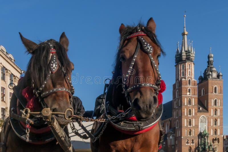 Par av hästar med i bakgrunden fasaden av basilikan av St Mary i den historiska mitten av Krakow, Polen royaltyfri foto