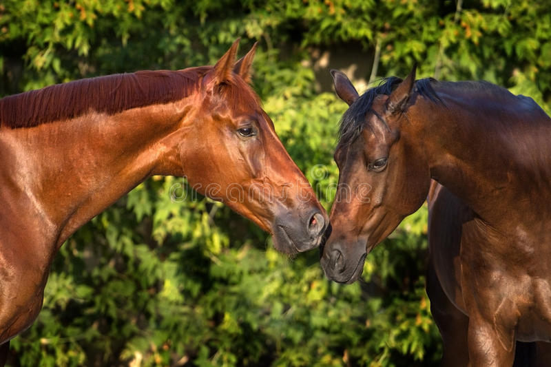 Par av hästen arkivfoto