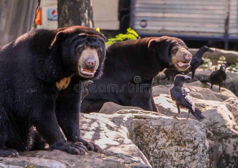 Par av Himalayan bj?rnar som sitter p?, vaggar bredvid galandena Gulliga djur i zoo royaltyfri bild
