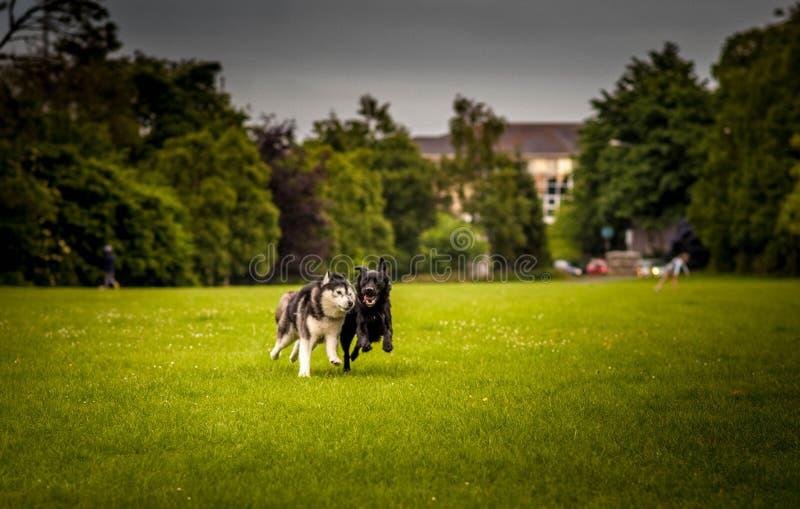 Par av hundkapplöpning som kör i fält arkivbild