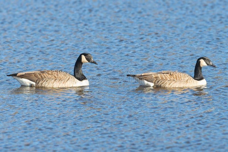 Par av Kanada gäss eller (Brantacanadensisen) i vattensimning arkivbilder