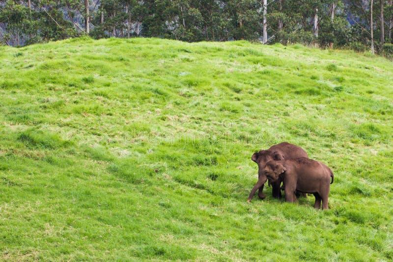 Par av lösa elefanter som äter gräs på salighetgräsplankullen - arkivfoton