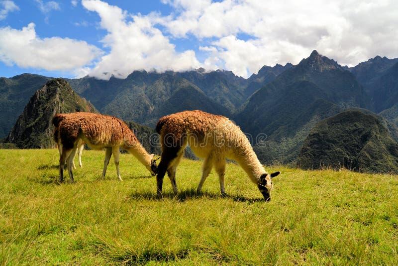 Par av lamor i de peruanska Anderna bergen royaltyfria foton