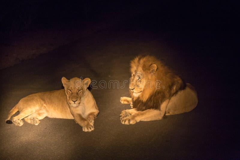Par av lejon som ligger på vägen vid natt i Kruger, parkerar, Sydafrika royaltyfri fotografi