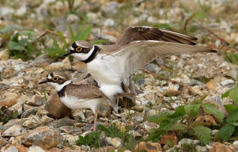 Par av litet Ringed para ihop för brockfåglar royaltyfri bild