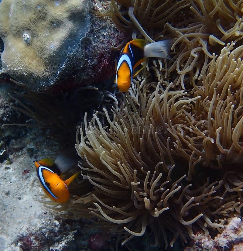Par av ljusa orange randiga clownfish med anemonen royaltyfri fotografi
