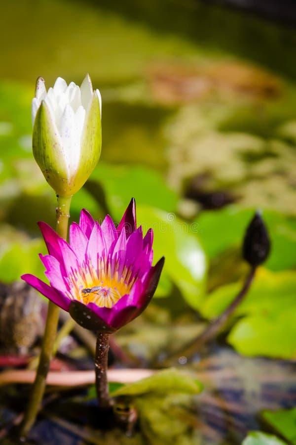 Par av lotusblomma på dammet royaltyfri foto