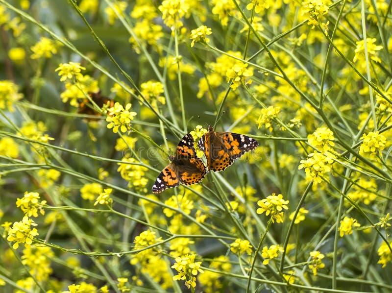 Par av orange fjärilar i fältet av gula senapsgula blommor royaltyfria foton