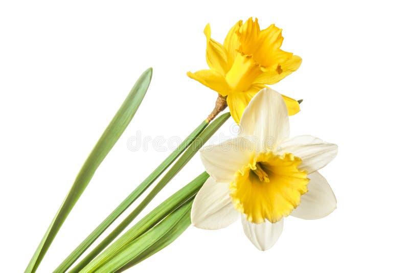 Par av pingstliljan blommar isolerat på en vit bakgrund royaltyfri bild