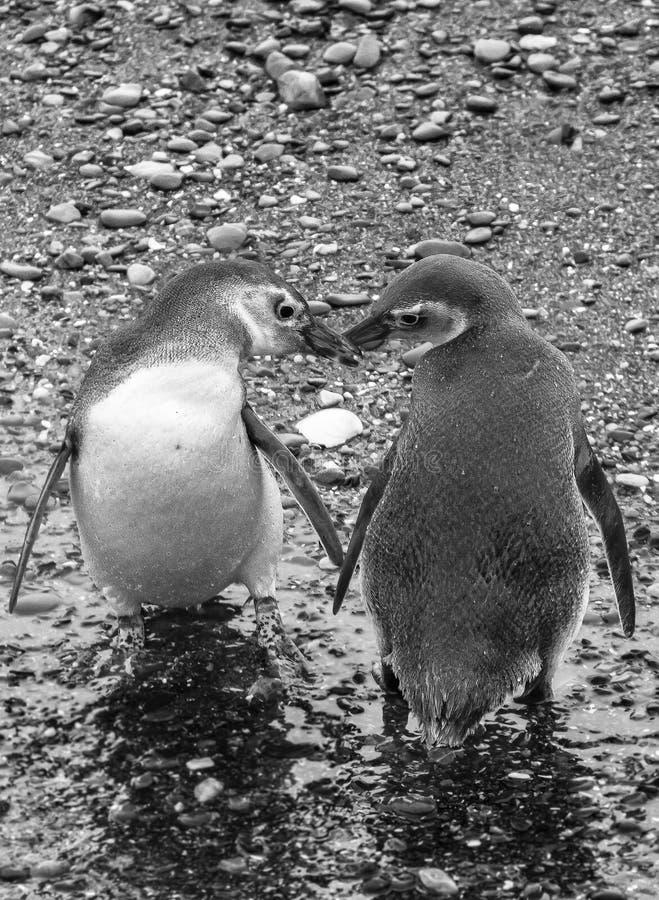 Par av pingvinet Ushuaia, Tierra Del Fuego, Argentina royaltyfri fotografi