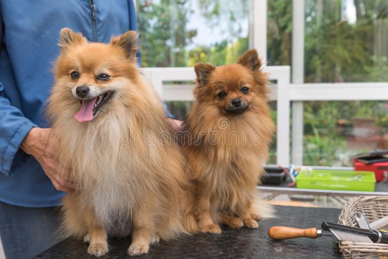 Par av Pomeranian den tyska Spitzhunden står på ansa royaltyfri foto