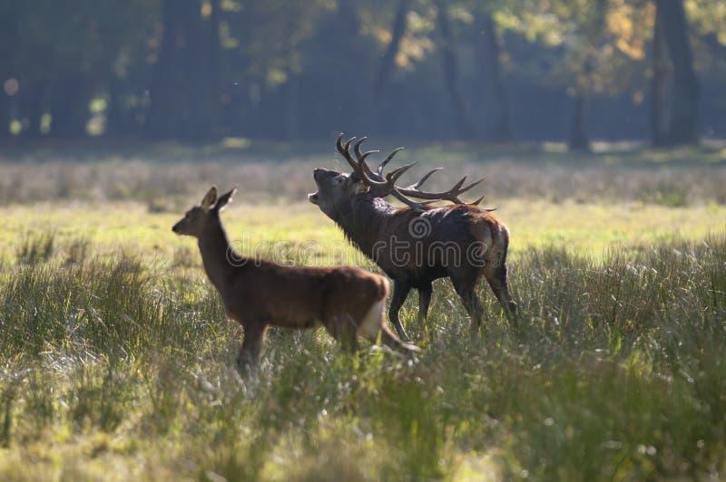 Par av röda deers i höst arkivfoto