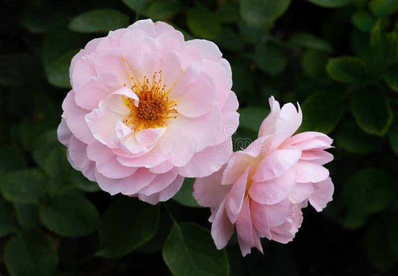 Par av rosa oavkortad blom för Rosa Belle Story David Austin English buskerosor i selektiv fokus royaltyfria foton