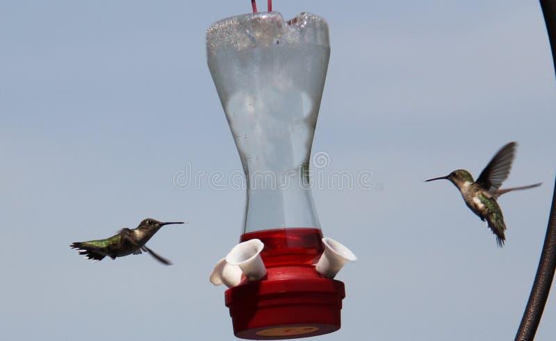 Par av Ruby Throated Hummingbirds royaltyfria bilder