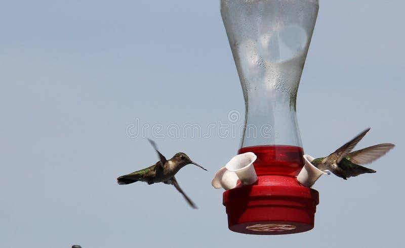 Par av Ruby Throated Hummingbirds arkivfoto