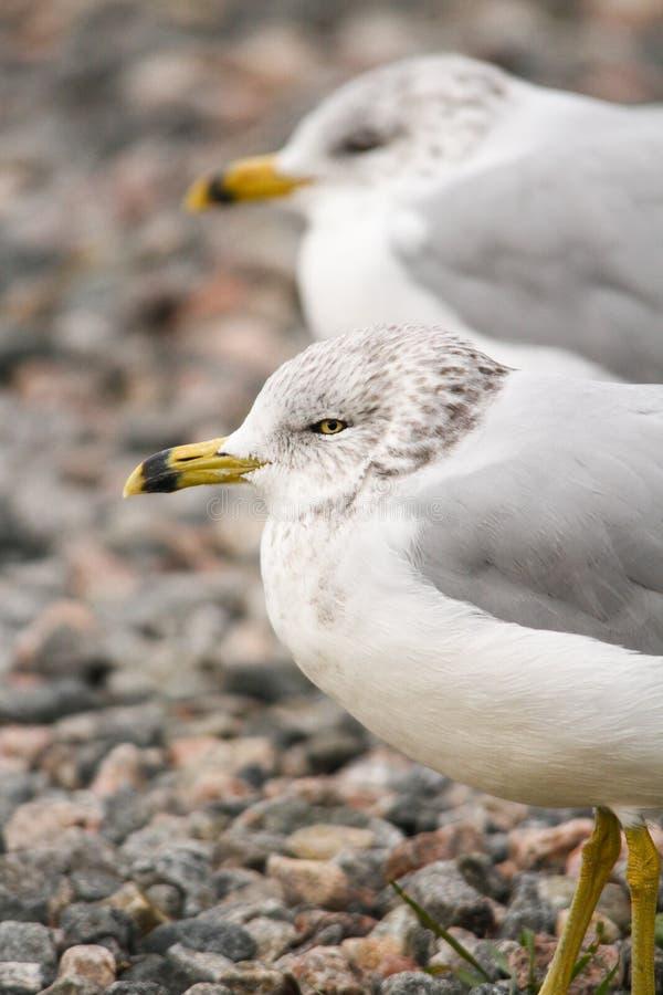 Par av Seagullsställningen på den Pebbled stranden arkivfoto
