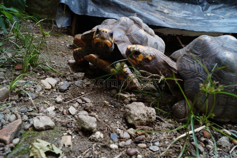Par av sköldpaddor som ut hänger arkivfoton