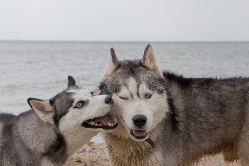 Par av skrovlig hundkapplöpning som spelar på sjösidan royaltyfri fotografi