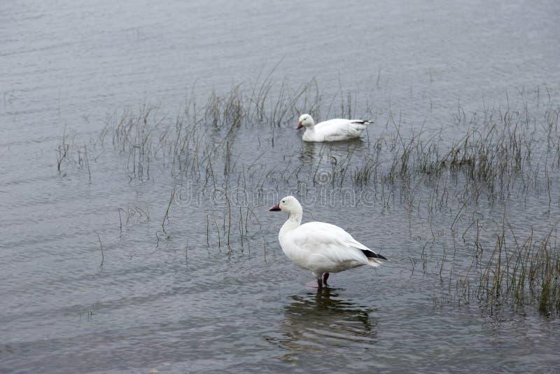 Par av snögäss i grunt vatten på kusten av Sten Lawrence River royaltyfria foton