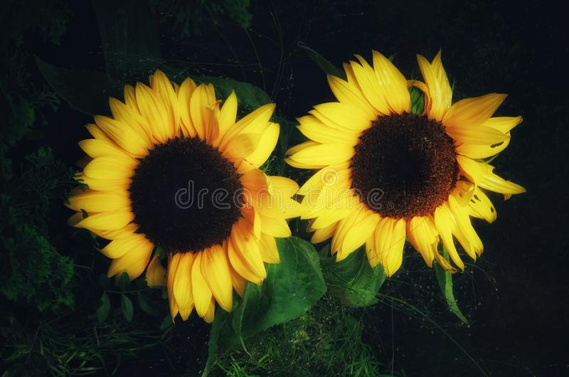 Par av solrosor på mörk bakgrund royaltyfri fotografi