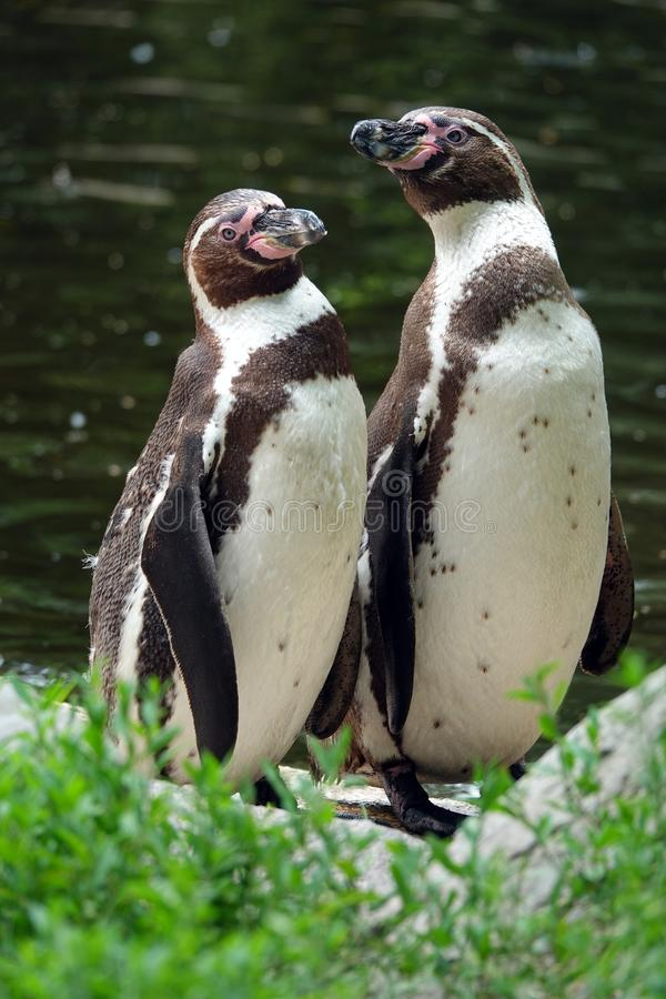 Par av Sooth afrikanska pingvin på strand royaltyfria foton