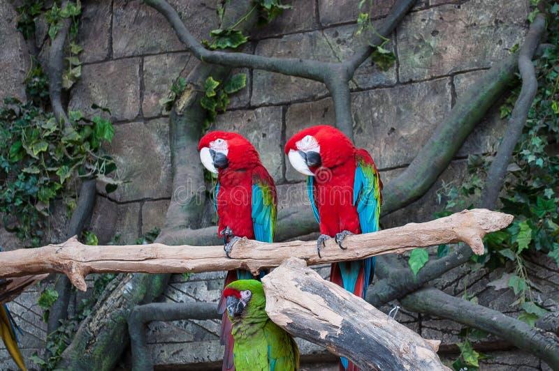Par av stora scharlakansröda röda aror, munkhättor Macao, två fåglar som sitter på filialen Djurlivplats från den tropiska skogna royaltyfri foto