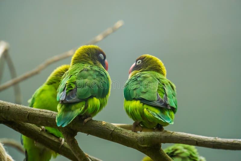 Par av svarta var fräck mot dvärgpapegojor som tillsammans sitter på en filial, tropiska fåglar från Zambia, Afrika royaltyfria bilder