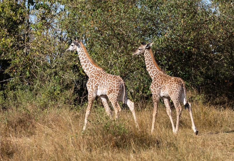 Par av unga masaigiraff, giraffacamelopardalis som går i buske av Kenya Masai Mara med högväxt gräs och träd i backgroun royaltyfri foto
