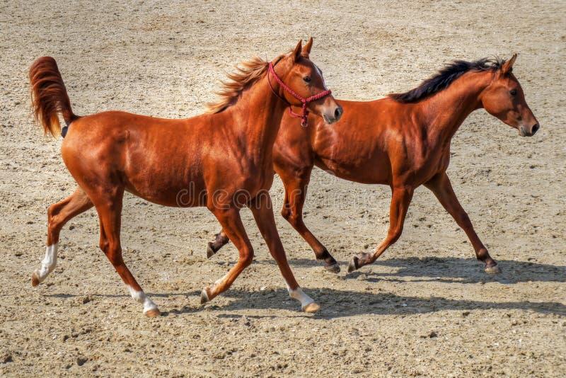 Par av ungt köra för hästar royaltyfria foton
