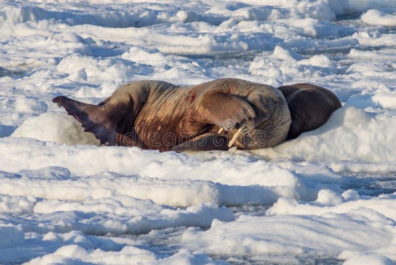 Par av valrossar på isen - arktisk, Spitsbergen arkivfoto