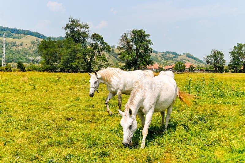 Par av vita hästar som går i de gröna ängarna royaltyfria bilder