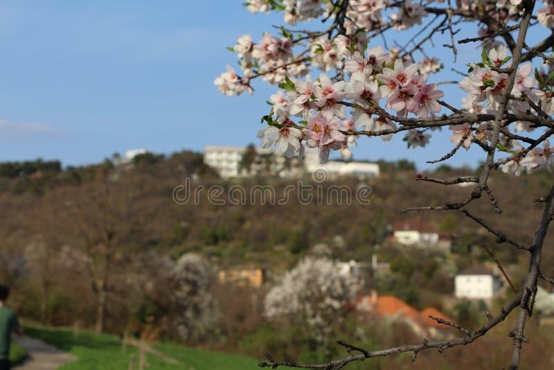 Par ces fleurs de cerisier, regardez ? la porte ? c?t? de colline au printemps photographie stock