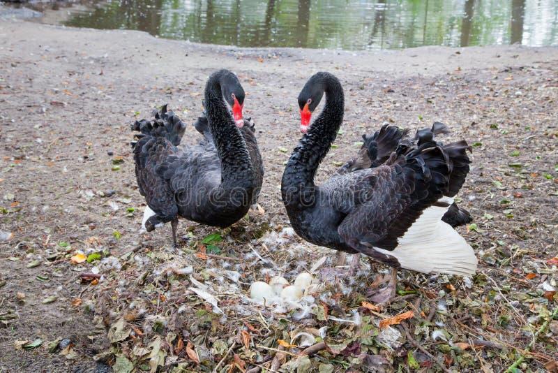 Par czarni łabędź ochrania jajka w gniazdeczku obraz royalty free