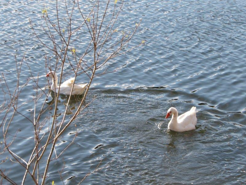 Par de Cisnes stock photography