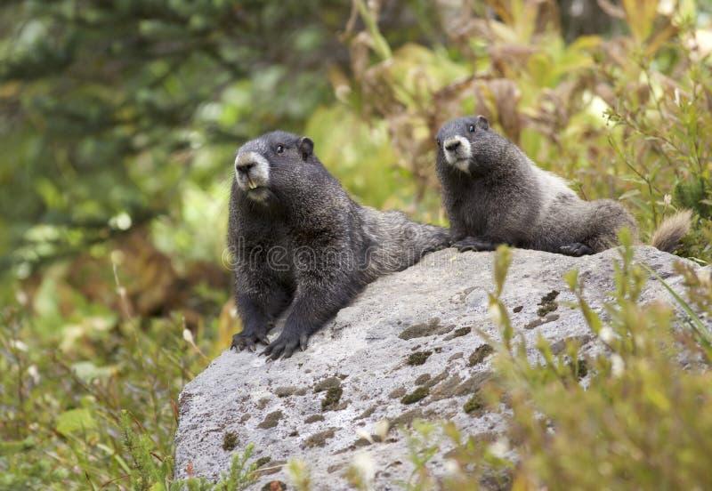Par för grånad murmeldjur på mer regnig Mt arkivfoton