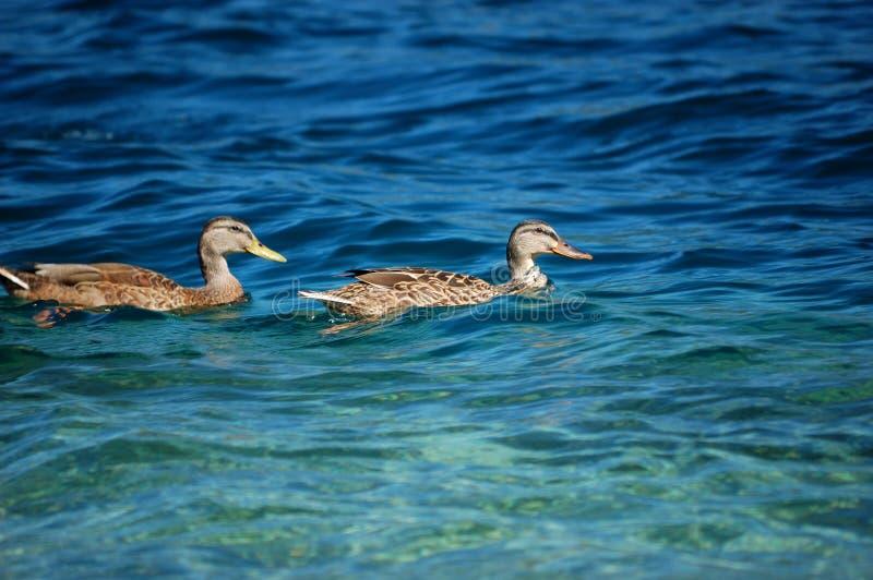 par för orta för gåsitaly lake arkivfoton