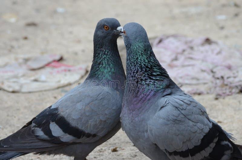 Par för returnera duvor som kopplas in i romans/förälskelse arkivbilder