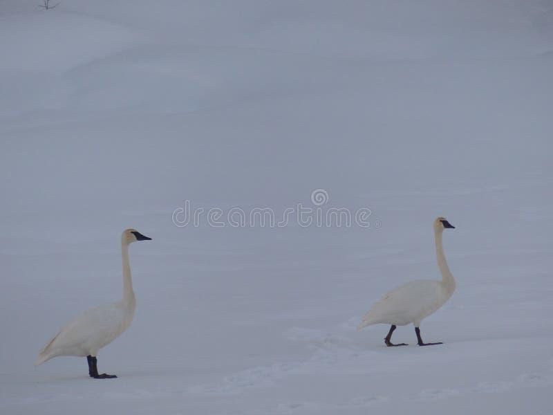Par för snögäss royaltyfria bilder