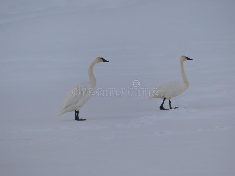 Par för snögäss royaltyfri fotografi