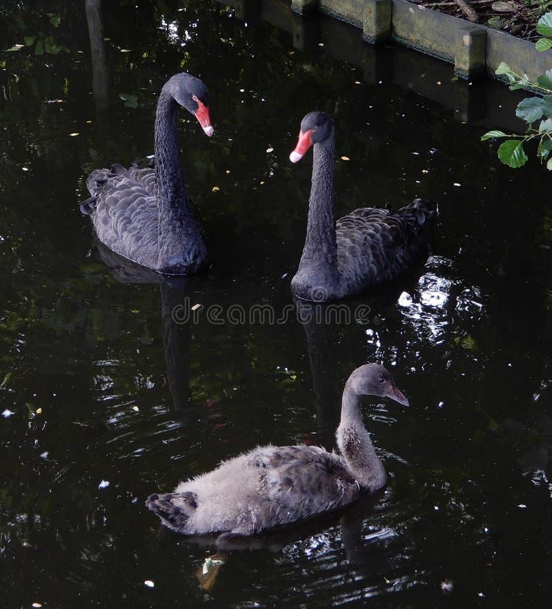 Par för svart svan med ungen i lugnt vatten av ett damm fotografering för bildbyråer