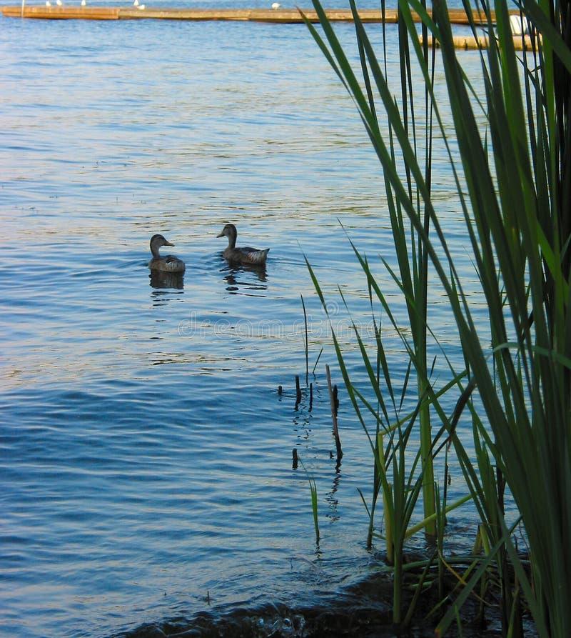Par Kaczki Korzysta Z Jeziora Zdjęcie Royalty Free