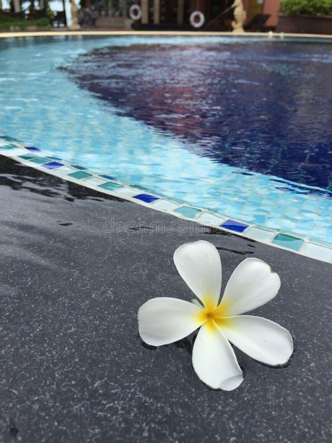 Par la piscine avec le Plumeria tombé ou le Frangipani photo stock