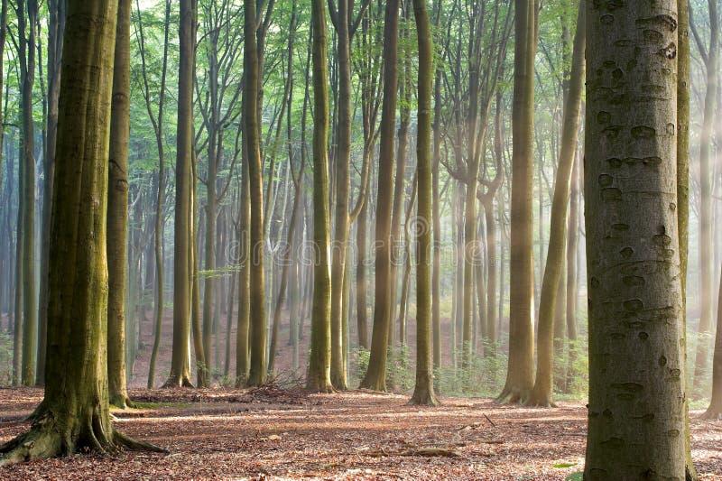 Par les arbres - matin brumeux de forêt photographie stock