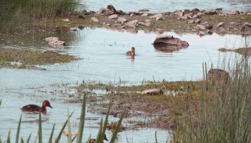 Par les eaux, bain de canards par photos libres de droits