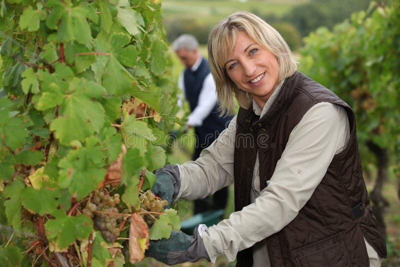Par som arbetar i deras vingård arkivbild