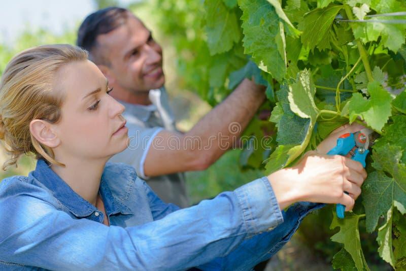 Par som arbetar i vinrankor royaltyfri bild