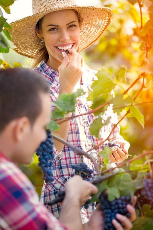 Par som arbetar tillsammans i vingård royaltyfria bilder