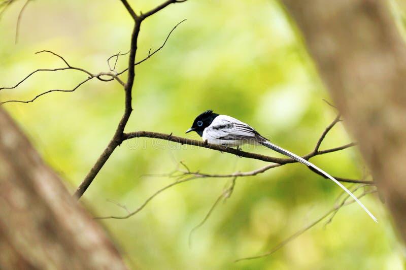 Paraíso-flycatcher de Madagascar fotos de archivo