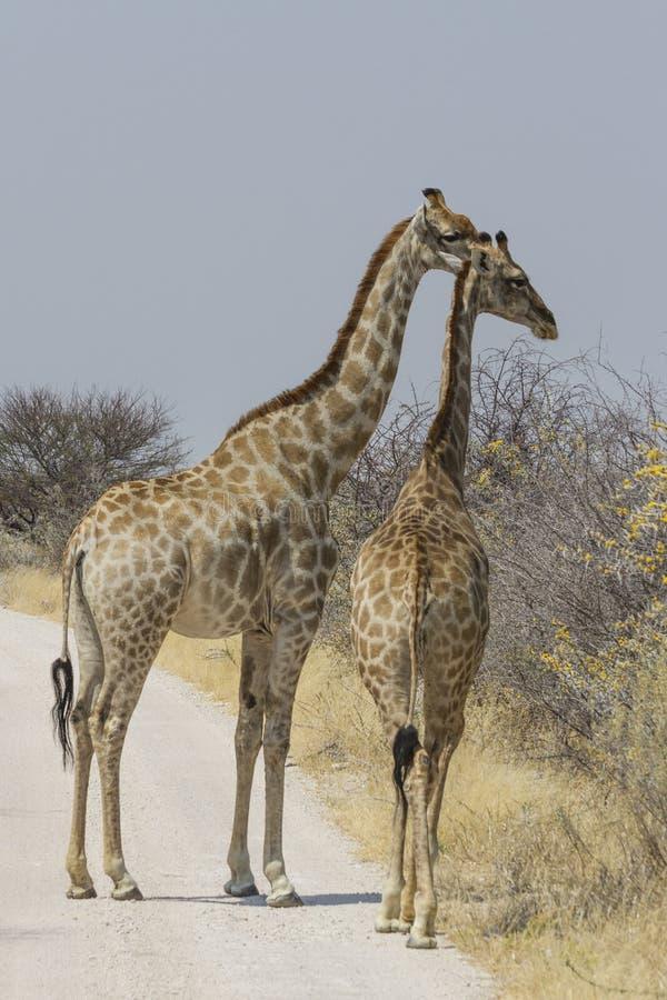 Para żyrafa na żwirze Roa, Etosha park narodowy, Namibia zdjęcie royalty free
