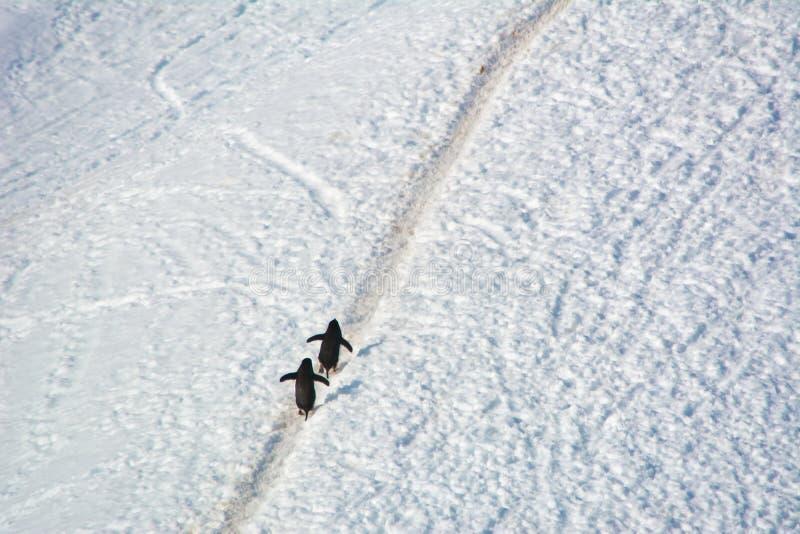 Para Adelie pingwiny chodzi do wzgórza w Antarctica zdjęcie royalty free